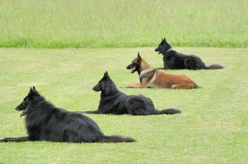 Obedience. Practice with four belgian shepherd stock photos