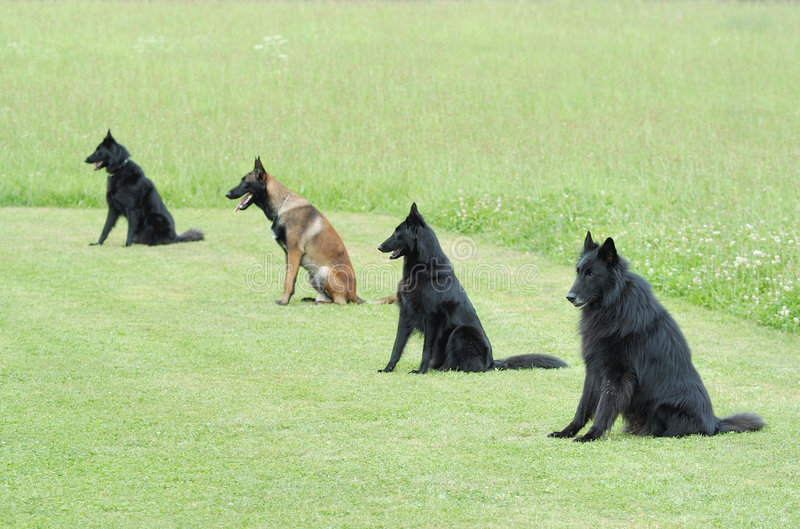 Obedience. Practice with four belgian shepherd royalty free stock photos