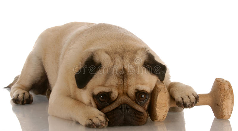 Obedience dog. Pug laying down beside dumbbell stock image