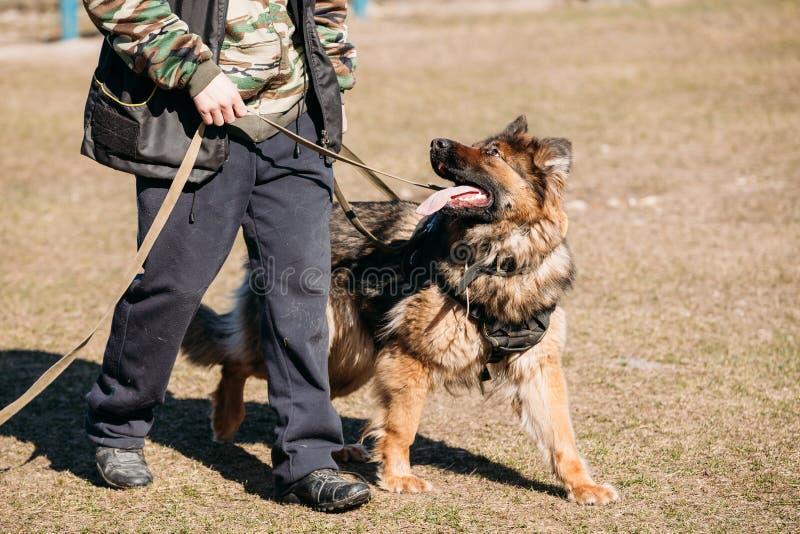 On Obedience Dog för tysk herde utbildning Elsassiska Wolf Dog arkivbild