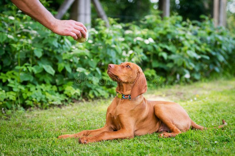 Obedience training. Man training his vizsla puppy the Lie Down Command using ball as positive reinforcement. Obedience training. Man training his vizsla puppy royalty free stock photography