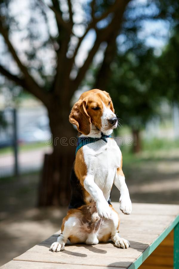 Obedient beagle dog executes the command. On the street royalty free stock images