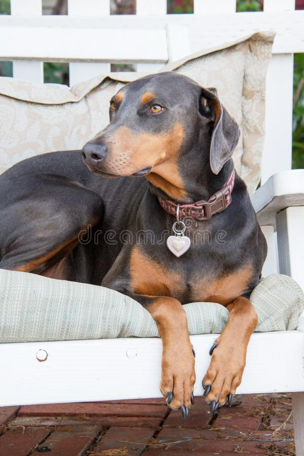 Obedient blue doberman female dog sitting on the grass in the front yard. Dog guarding front yard stock images