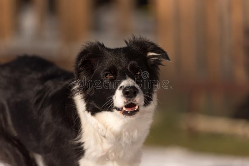 Obedient Border collie dog. Head Portrait. Young Obedient Border collie dog. Head Portrait royalty free stock image