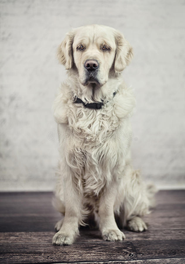 Obedient, calm dog waiting for its master. Obedient and calm dog waiting for its master royalty free stock image