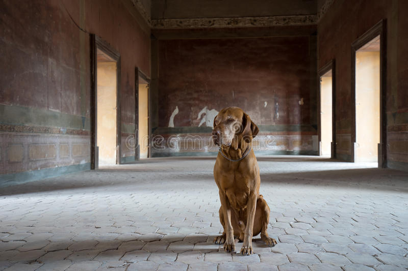 Obedient dog in abandoned medieval hacienda room in mexico. Hungarian vizsla dog sitting in abandoned hacienda interior royalty free stock photography