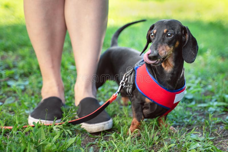 Obedient dog dachshund, licks with tongue,  doing walking exercise with owner. Obedience training.  stock images