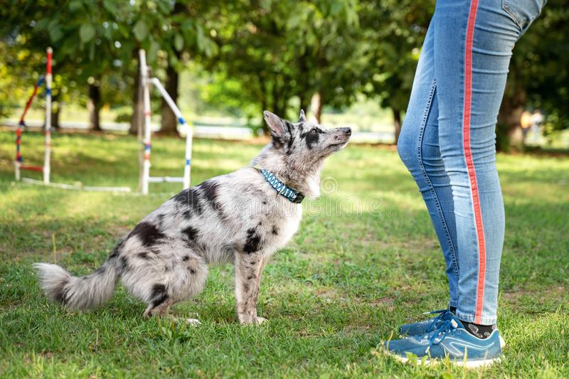 Obedient dog doing walking exercise with owner. training Sit command.  stock photos