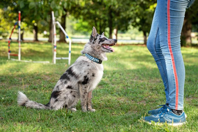 Obedient dog doing walking exercise with owner. training Sit command.  royalty free stock images