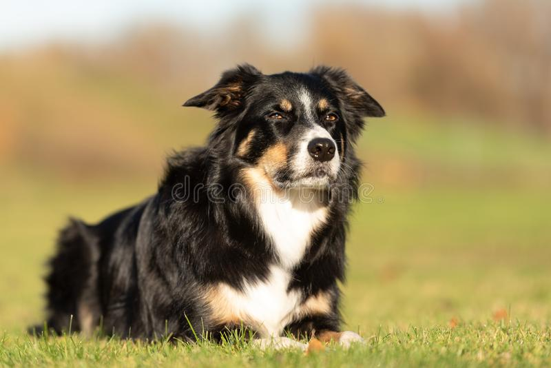 Obedient dog is lying in a meadow and is looking forwards. Border Collie Portrait. Dog is lying in a meadow in autumn in front of blurred background royalty free stock images