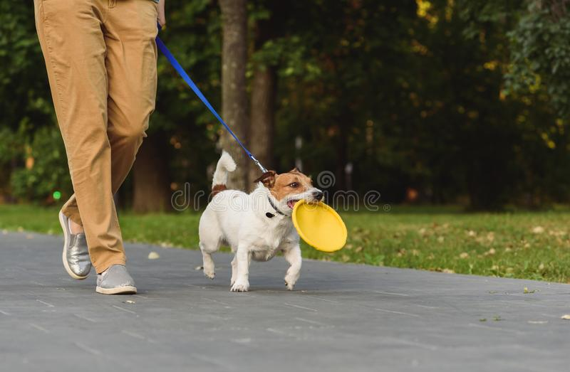 Obedient dog next to owner walking on leash holding toy in mouth royalty free stock photos