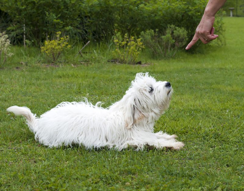 Obedient dog. Obedient puppy dog maltese breed stock photography
