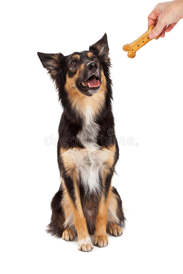Obedient Dog Rewarded With Treat. A cute and happy young black and tan color Border Collie and Shepherd mixed breed dog sitting and looking up at the hand of a stock images