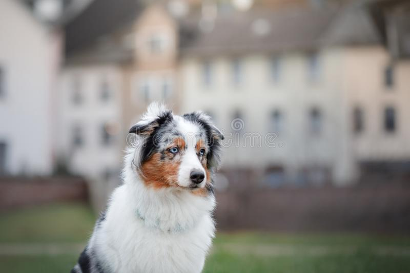 Obedient dog on the street, Europe, old city. Aussie. Obedient dog on the street, Europe, old city. Australian Shepherd stock images