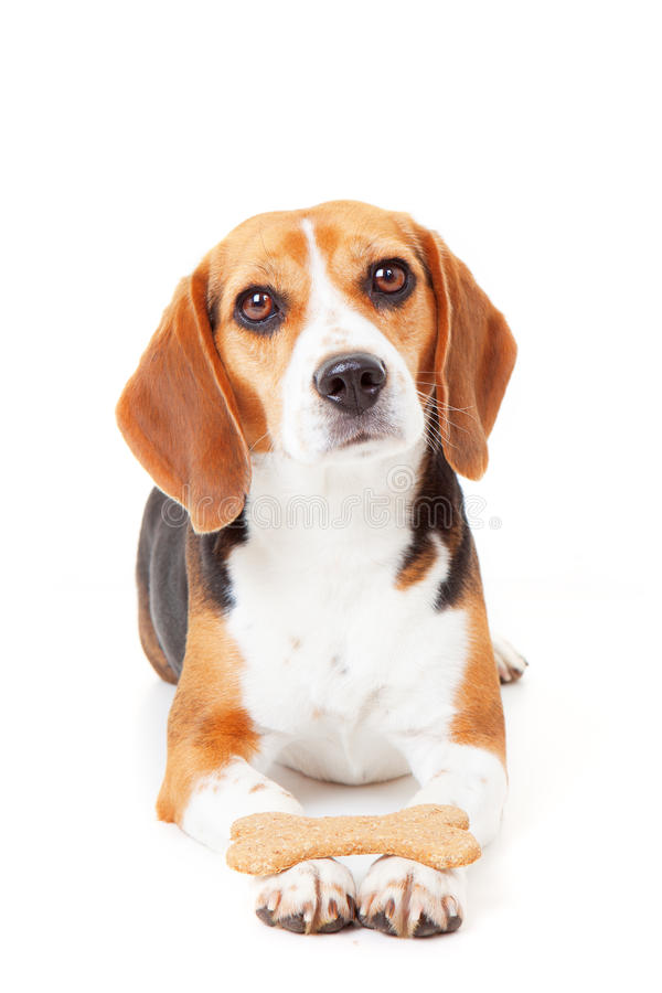 Obedient dog training. Obedient dog getting training holding biscuit in paws stock photo