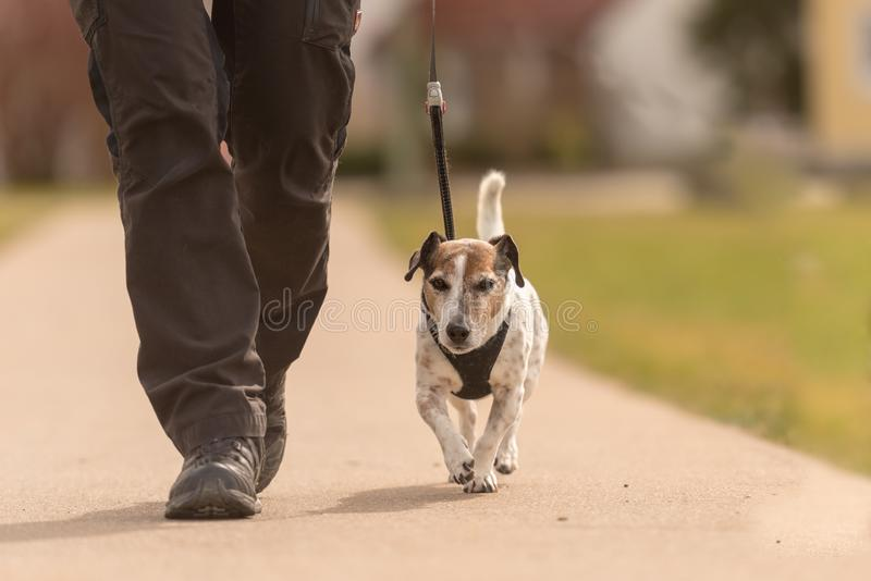 Obedient dog walk a leash with their owner - cute Jack Russell Terriers. Old Obedient dog walk a leash with their owner - cute Jack Russell Terriers royalty free stock photo