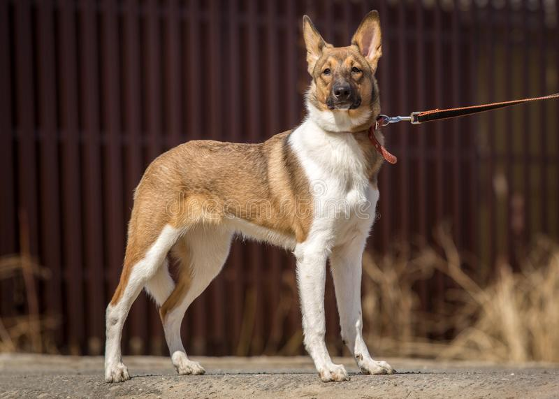 Obedient dog walks on a leash in the park.  stock images