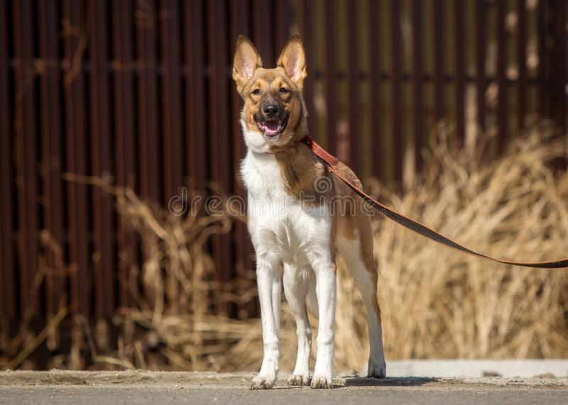 Obedient dog walks on a leash in the park.  stock photo