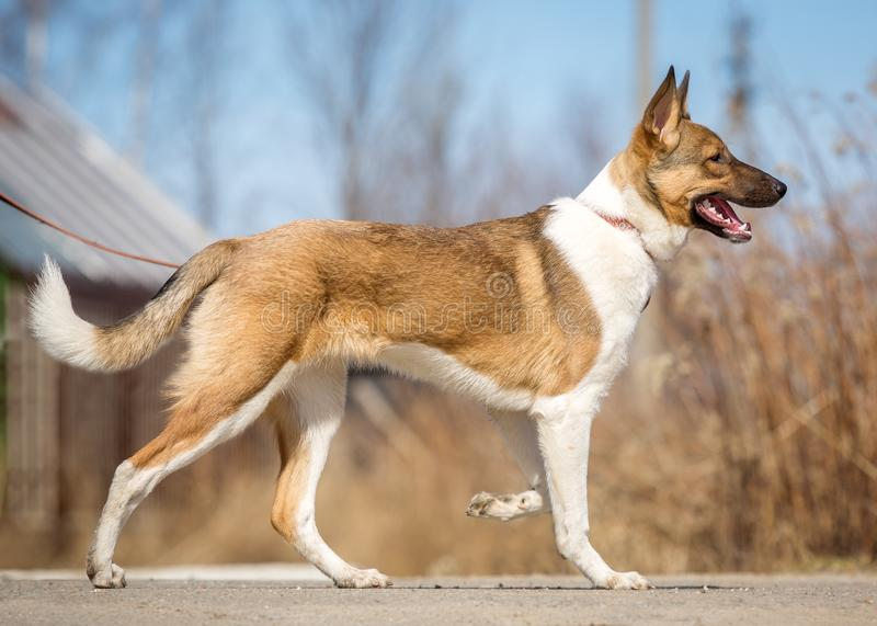 Obedient dog walks on a leash in the park.  royalty free stock photo
