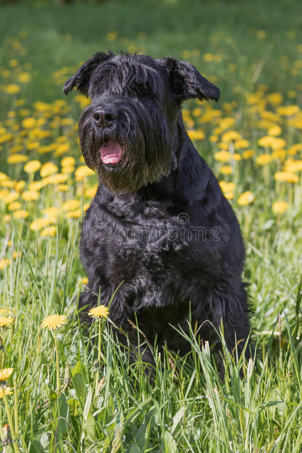 Obedient Giant Black Schnauzer Dog. Vertically. Obedient Giant Black Schnauzer Dog sitting at the blossoming dandelion meadow. Vertically stock photo