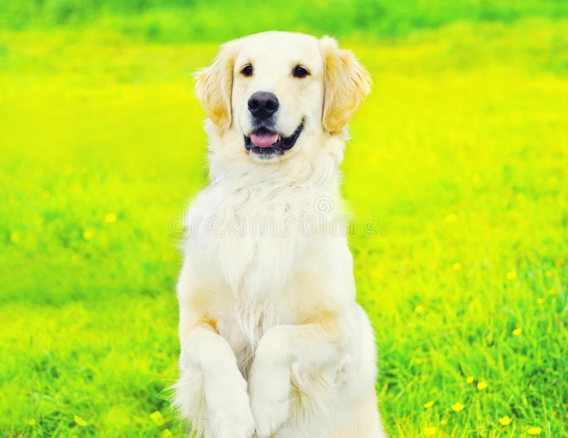 Obedient Golden Retriever dog executes command, standing on its hind paws over grass in sunny summer. Day royalty free stock image