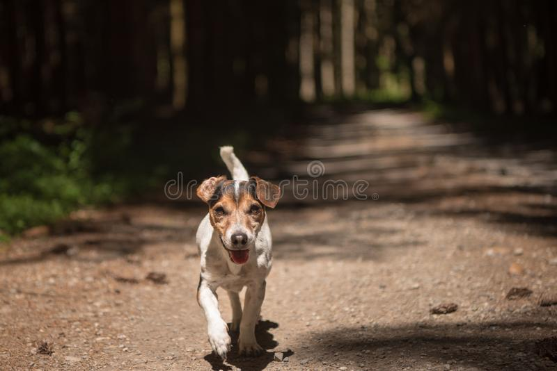 Obedient hunting dog is running in the forest on a path. Little obedient hunting dog is running in the forest on a path royalty free stock photography
