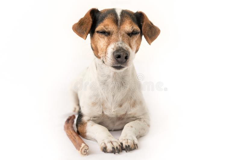Obedient Jack Russell Terrier is 10 years old - Funny little dog is meditating and is dreaming of eats and chews with enjoyment. D. Obedient Jack Russell Terrier stock photography