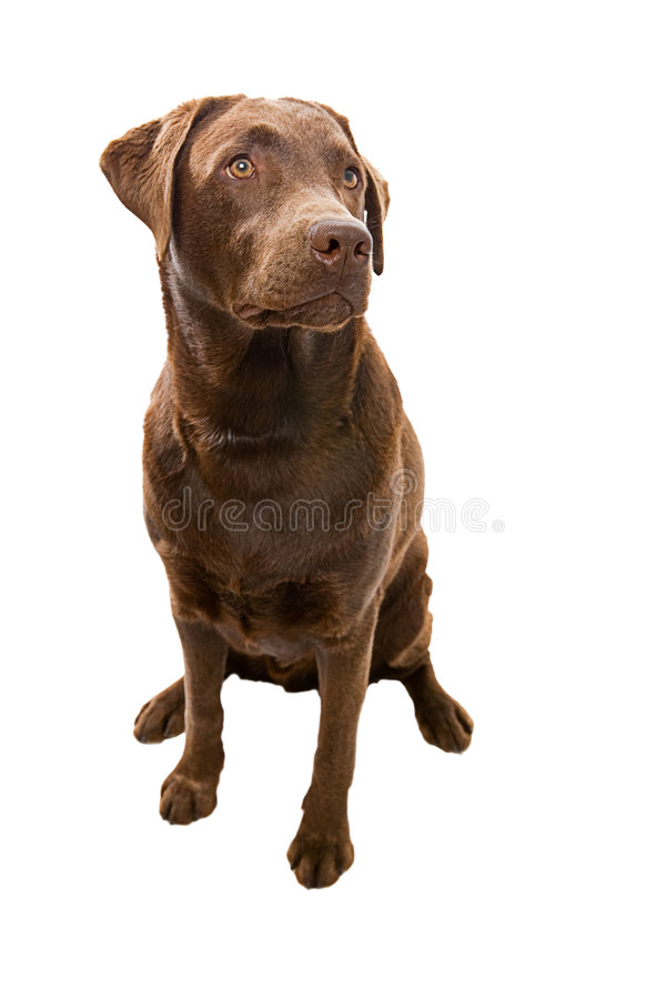 Download Obedient Labrador Looking Off Camera Stock Photo - Image: 6658246