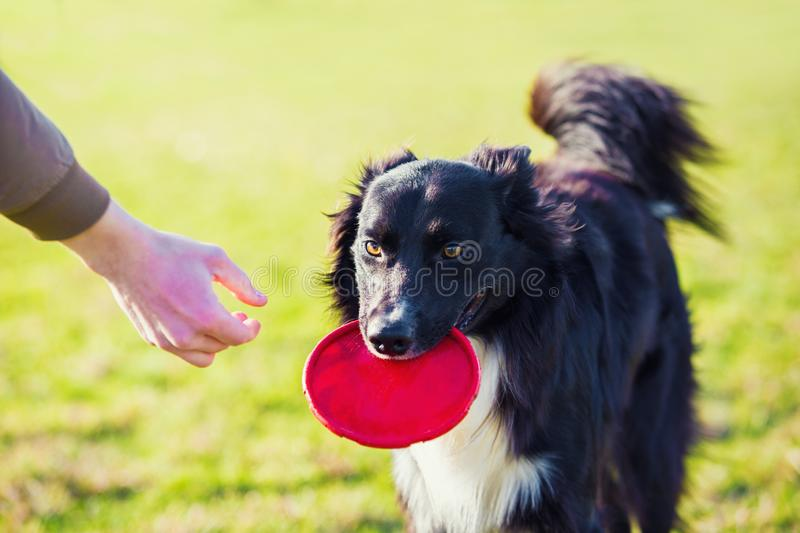 Obedient purebred border collie dog playing outdoors as fetching the frisbee toy back to master. Adorable, well trained puppy stock photography