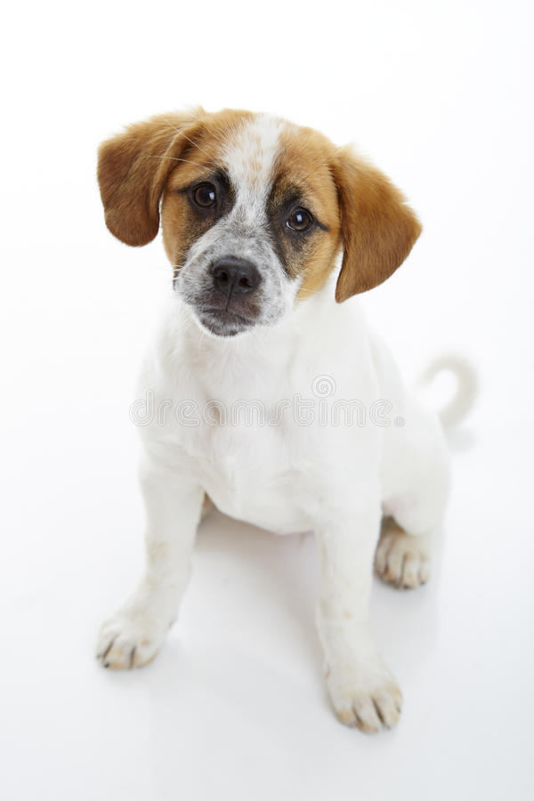 Obedient sitting dog. Obedient terrier dog puppy sitting and looking up to the camera in front of white background. Upper view royalty free stock image