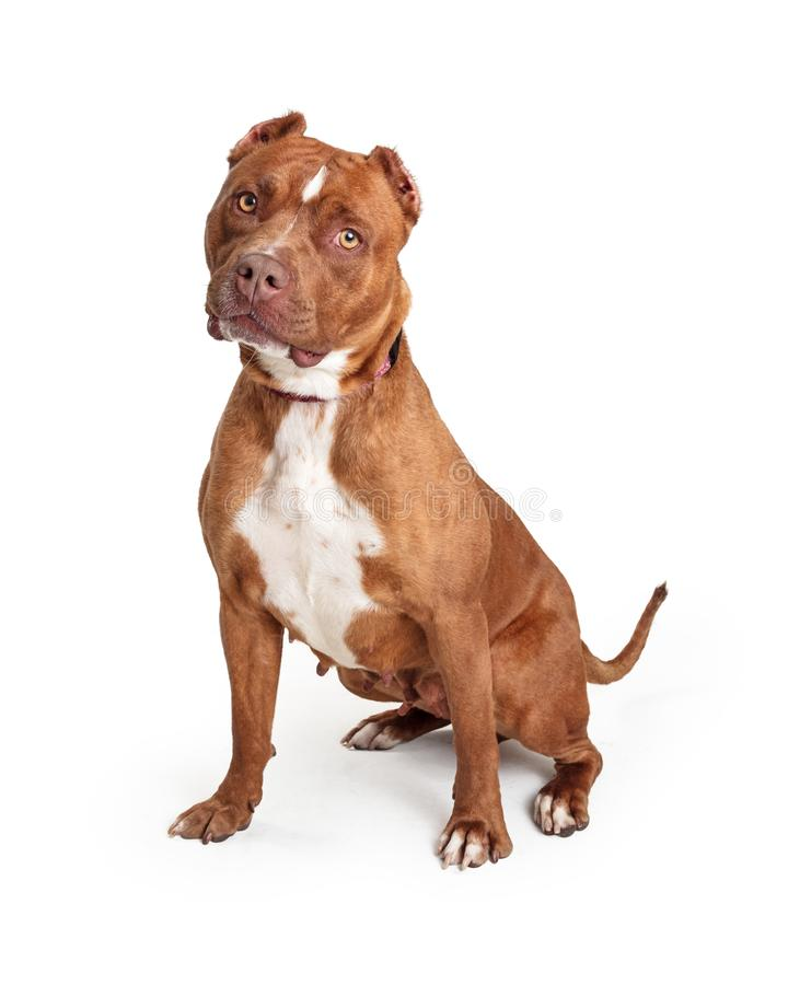 Obedient Staffordshire Terrier Dog Over White. Beautiful obedient Staffordshire Terrier dog sitting on white looking at camera stock images