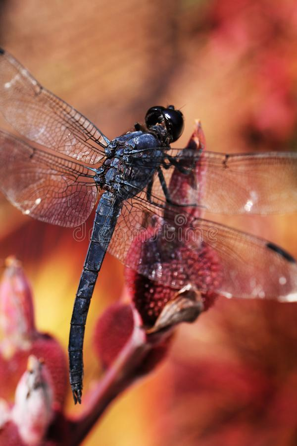 Oben-Abschluss Dragon Fly With Red Background stockfotografie
