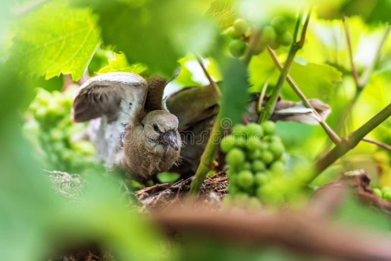 Oben geschlossen vom Babytaubenvogel stockfoto