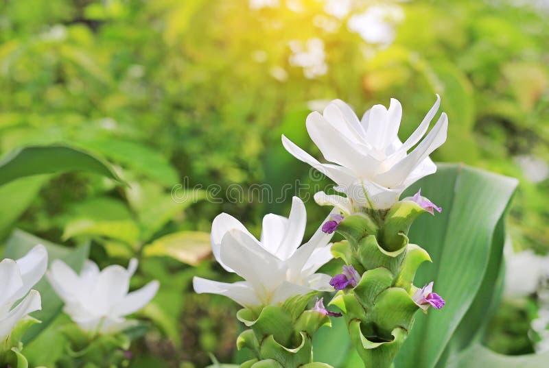 Oben geschlossen von blühender weißer Krachai-Blume Siam-Tulpe im Sommergarten mit Strahlen des Sonnenlichts lizenzfreies stockbild