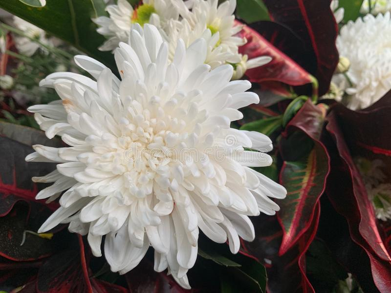 Oben geschlossen von den weißen Blumen auf einem Hintergrund von roten grünen Blättern lizenzfreie stockfotografie