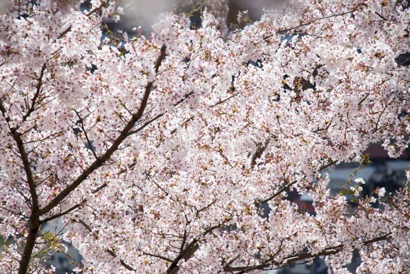 Oben geschlossen von der schönen Sakura Cherry-Blütenblume stockfotografie