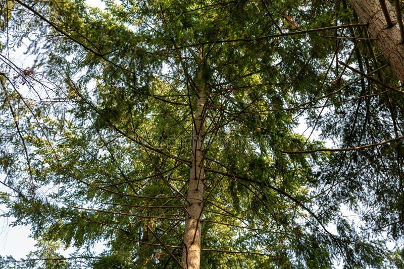 Oben schauen in einem Winkel zur Krone eines Baums durch seine Niederlassung lizenzfreie stockfotos