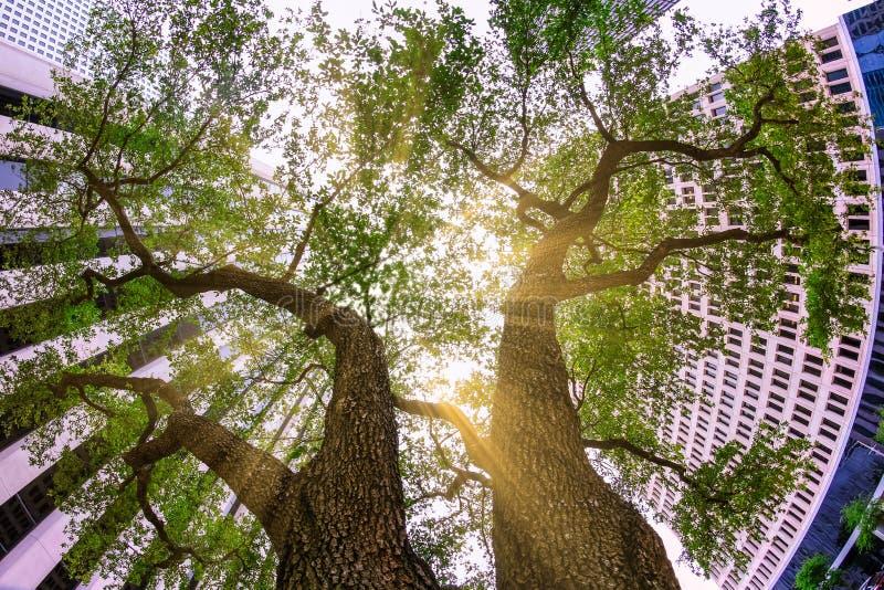 Oben schauen gen Himmel zwischen zwei majestätischen Bäumen schmiegte sich in einem Häuserblock an stockbild