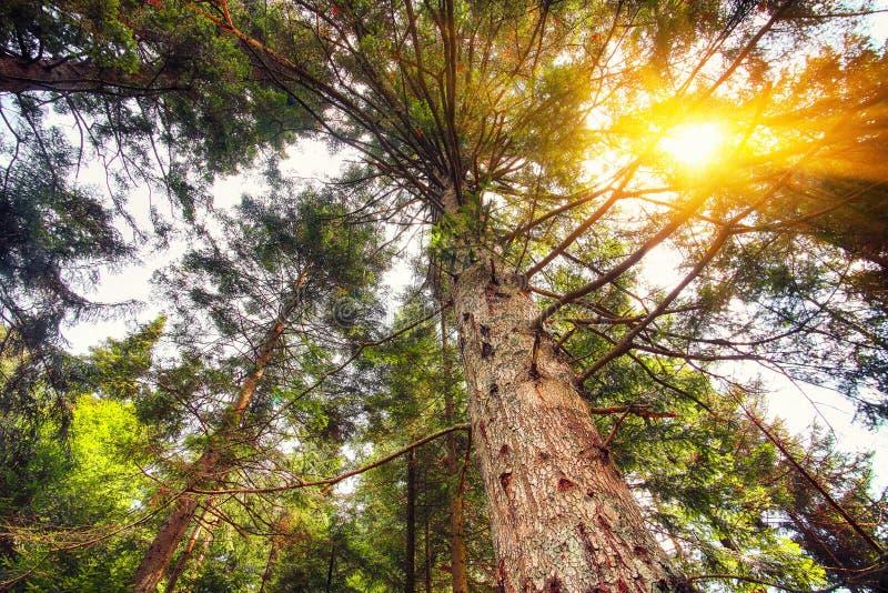Oben schauen im Sommer Misch-Forest Trees Woods To Canopy stockbild