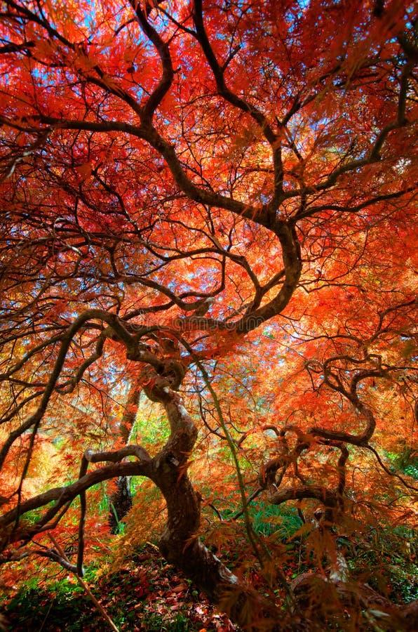 Oben schauen unter der Überdachung eines schönen japanischen Ahornbaums mit den roten und orange Blättern stockfoto