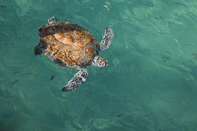 Obenliegende Ansicht des vollen K?rpers, gef?hrdete gemalte hawksbill Meeresschildkr?te im klaren tropischen Wasser lizenzfreie stockbilder