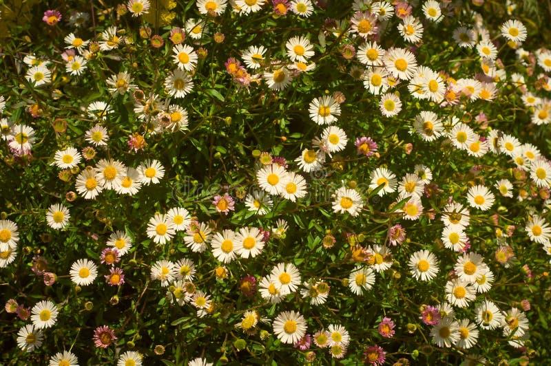 Obenliegende Ansicht von bunter Daisy Field auf Sunny Day in San Francisco stockbild