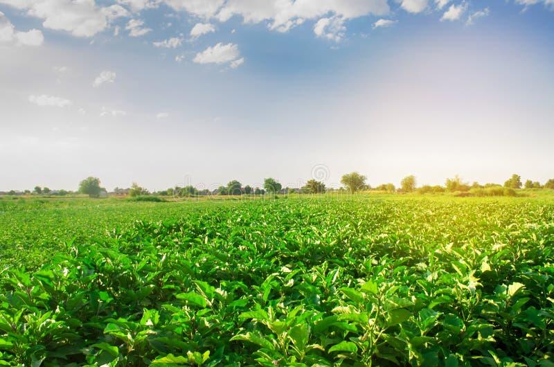 Oberżyny r w polu jarzynowi rzędy Rolnictwo, warzywa, organicznie produkty rolni, przemysł farmlands AUB obraz royalty free