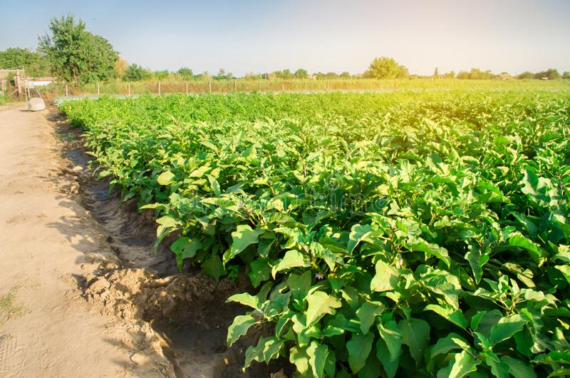 Oberżyny r w polu jarzynowi rzędy Rolnictwo, warzywa, organicznie produkty rolni, przemysł farmlands AUB fotografia royalty free