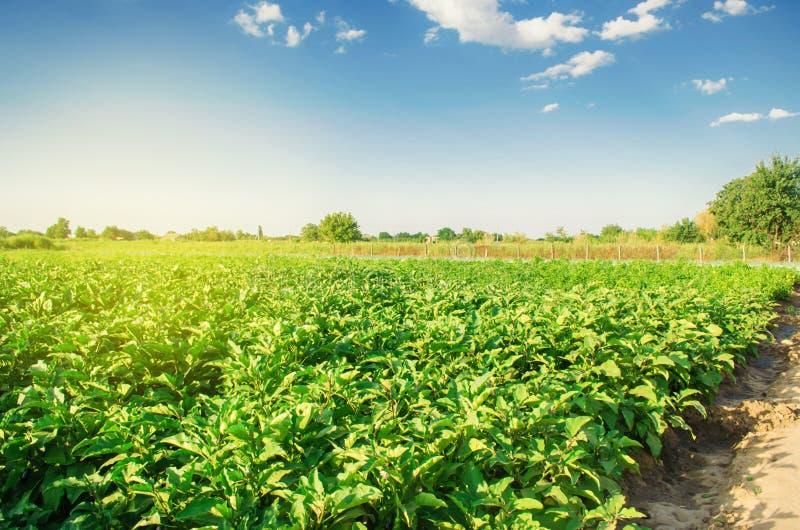 Oberżyny r w polu jarzynowi rzędy Rolnictwo, warzywa, organicznie produkty rolni, przemysł farmlands AUB obrazy stock