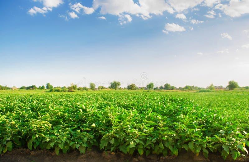 Oberżyny r w polu jarzynowi rzędy Rolnictwo, warzywa, organicznie produkty rolni, przemysł farmlands AUB zdjęcie stock