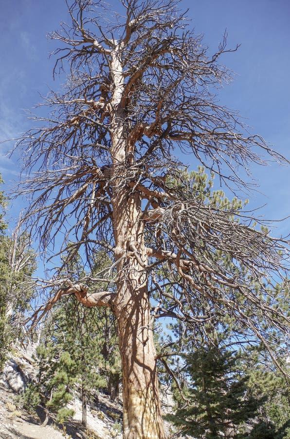 Obere Bristlecone-Schleifen-Spur, Mt Charleston, Nevada lizenzfreie stockbilder