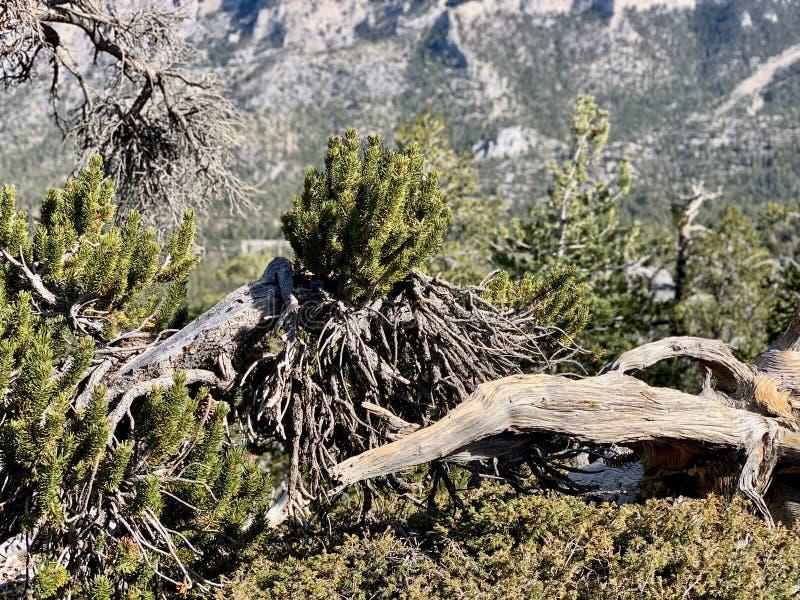 Obere Bristlecone-Schleifen-Spur, Mt Charleston, Nevada stockbild