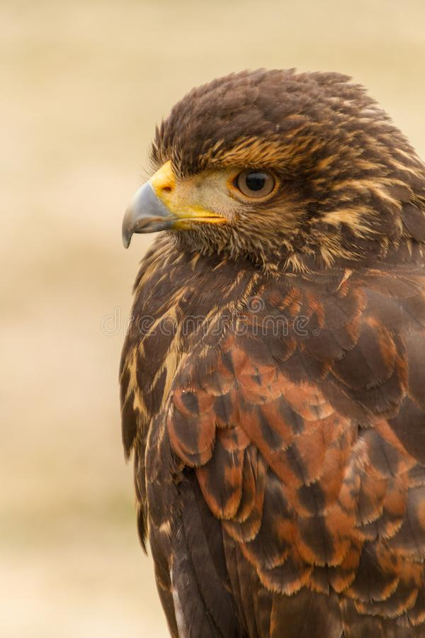 Oberer Körper eines sichernden Harris Hawk Parabuteo-unicinctus, Falknerei stockbild