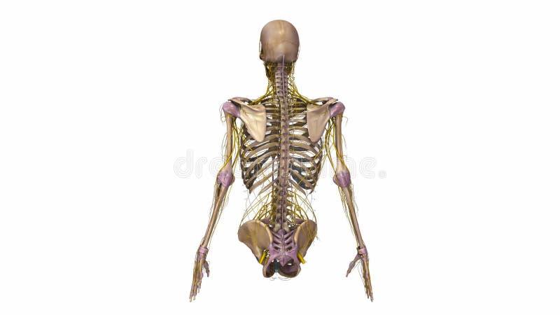 Oberer Körper Mit Ligamenten Und Den Nerven Stock Footage - Video ...